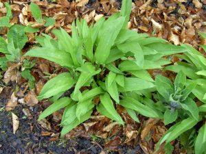 Bärlauchpflanze