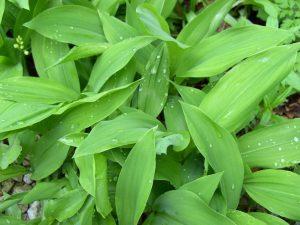 Maiglöckchenpflanze