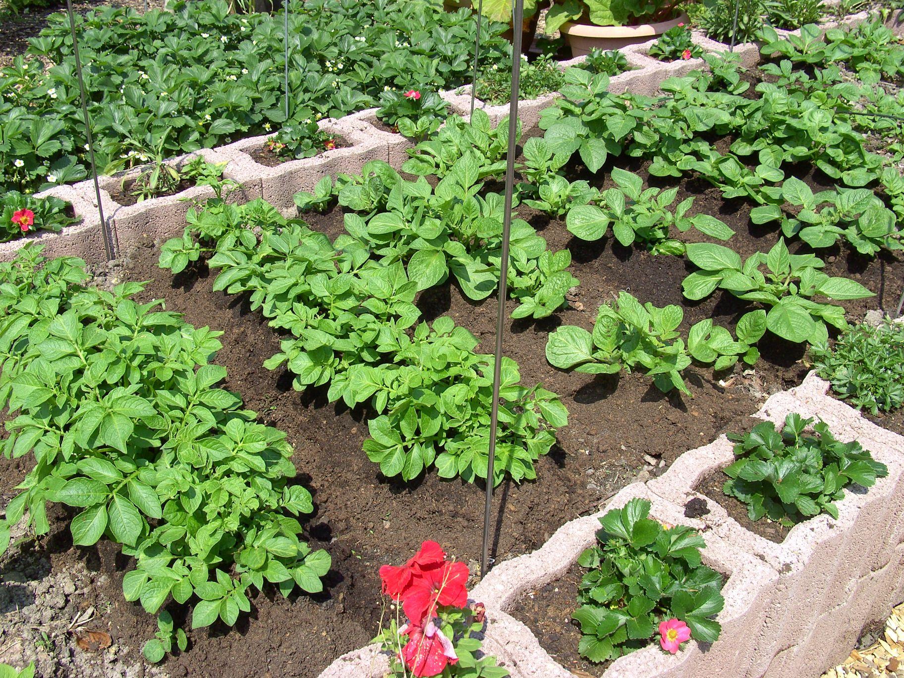 Gemüsepflanzen Alte Sorten