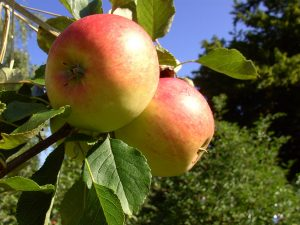 Äpfel im Baum Jakob Fischer