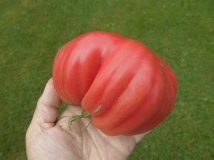 die erste Tomate des Jahres 2014