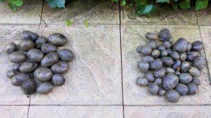 Blue Congo mini und große Saatkartoffeln Vergleich 1a